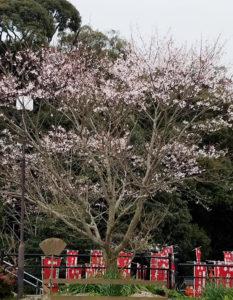 天然記念物薄墨桜が満開です。